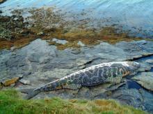 Mosaic Fish, North Uist